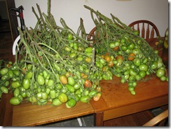 10-03-08 Harvesting 002
