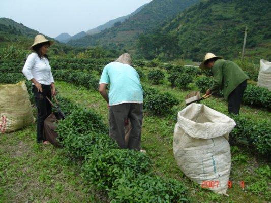 福建省茶摘み袋