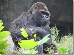 GorillaZooTrip 098