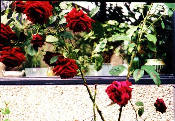 Rozen voor het raam