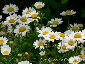 flower_chrysanthemum02