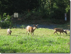 08-14-08 Deer on Front Lawn 003