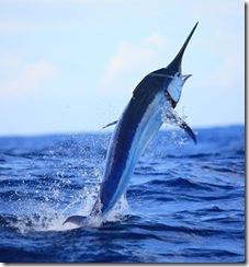 Marlin Azul , Blue Marlin