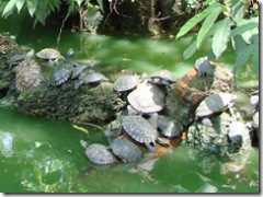 Terrapins in Long Life Pool